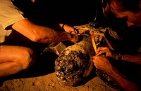 Satellite Transponder on  Leatherback Turtle (Demochelys coriacea), Maputoland, S. Africa