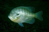 Bluegill Sunfish/n(Lepomis macrochirus)/nDevil Springs - Florida