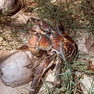 Coconut Crab     RARE/n(Birgus latro)/nLau Group, off Fiji