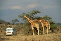 Safari Tour Vehicles  with Reticulated Giraffes Samburu, Kenya