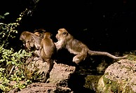 Rhesus-Macaque/n(Macaca-mulatta)