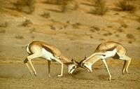 Springbok-Battle/n(Antidorcus-marsupialis)/nKalahari-Gemsbok-Park