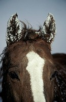 Horse-Detail:-Ears-and-Forehead