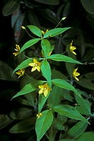 Whorled-Loosestrife-(Lysimachia-guadrifolia)-(primulaceae)-Hancock-Co.,-ME