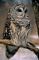 Barred-Owl-in-Tree-(Strix-varia),-IC,-Howell-Nature-Center,-MI