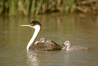 Western-Grebe-(Aechmophorus-occidentalis),-Baby-on-Mom´s-Back,-Bear-River-Refuge,-Utah