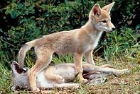 Coyote-pups-at-play-/n(Canis-latrans)/nNo.-Montana