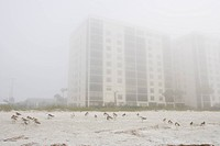 Willets,-Catoptrophorus-semipalmatas,-share-the-beach-with-condos-in-Indian-Rocks-Beach,-Florida.