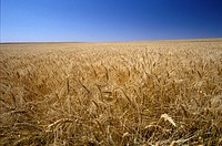 Wheat-field-dance-in-summer-wind,-Kansas-is-#1-wheat-producer-in-country,-W.-KS-received-up-to-300-clear-days-per-year,-perfect-climate-for-wheat