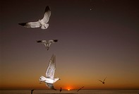 Laughing-Gull-(Larus-atricilla)-in-flight-at-sunset.-S.-Florida,-SE-USA