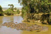 Hippopotamus-in-Mara-River-(Hippopotamus-amphibius)-Masai-Mara-GR/Kenya