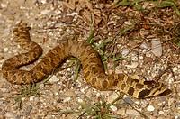Eastern-Hognose-Snake/n(Heterodon-platyrhinos)/nWexford-County,-Michigan