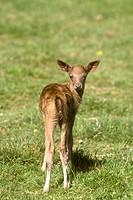 Fallow-Deer/n(Dama-dama)/nOlympic-Game-Farm,-WA