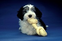 Bearded-Collie-puppy-11-week-female,-chewing-rawhide-bone