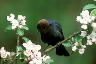 Brown-headed-Cowbird-displaying-(Molothrus-ater)/nFreevillle,-NY