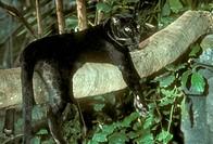 Black-Leopard-(Panthera-pardus)
