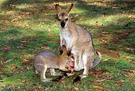 Red-necked-Wallaby-female-&-nursing-joey-(Macropus-rufrogriseus)-Australia,-Lone-Pine-Sanctuary