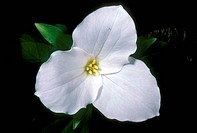 Large-Flowered-aka-White-Trillium---Shenandoah-NP-VA/n(Trillium-grandiflora)
