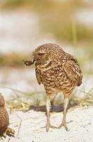Burrowing-Owl-feeding-on-bug/n(Athene-cuniccularia)/nMarco-Island---Florida