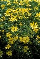 Whorled-Coreopsis-(Coreopsis-verticellata-´Moonbeam´)