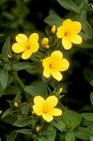Golden-Flax-(Linum-flavum)-Mourning-Cloak-Ranch,-Tehachapi,-California