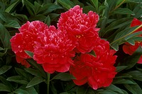 Henry-St.-Clair-Peony-(Paeonia-x-Henry-St.-Clair)