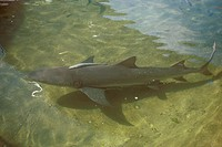 Bull Shark/nWith Remora