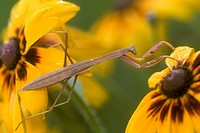 Carolina-Mantid-on-Rudbeckia-(Stagmomantis-carolina),-PA
