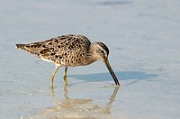 Short-billed-Dowitcher--(Limnodromus)-feeding-Marco-island,Fl