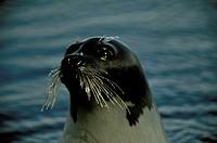Harp-Seal/nCanada