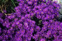 Italian aster flowers (Aster amellus ´Veilchenkonigin´).