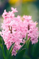Hyacinth (Hyacinthus orientalis hybrid) flower. Photographed in Maryland, USA.