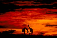 Pair-of-Giraffe-at-sunset,-Tarangire-Reserve,-Tanzania-(Giraffa-camelopardalis)