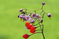 Bittersweet flowers and fruits (Solanum dulcamara). All parts of this plant are mildy poisonous, though it is used in herbal medicine to treat warts a...