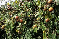 Pear (Pyrus longipes). Ripe pears on their tree.