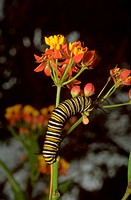 Blood Flower. (Asclepias curassavica) Close up of a cyme of flowers and a climbing Monarch Butterfly larva