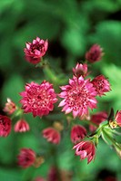 Masterwort flowers (Astrantia sp.). Photographed in summer.