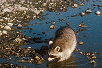 Raccoon----(Procyon-lotor)/nLooking-for-Food-at-River-Edge/White-River,-Vermont