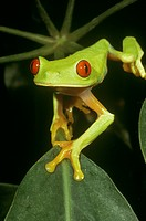 Red-Eyed-Treefrog-(Agalychnis-callidryas)-Central-America