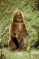 Grizzly-Bear-(ursus-arctos)