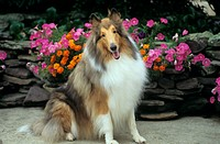 Dog:-Collie