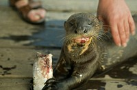 Otter eating fish on wooden pier