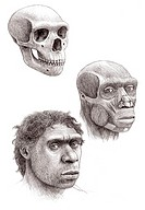 Neanderthal heads (Homo neanderthalensis), artwork. The skull is at top, the facial musculature at centre and the head at bottom. Neanderthals had sev...