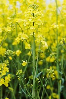 Oil seed rape (Brassica napus) growing in a field. This plant is grown widely in Europe for the edible oil which is extracted from its seeds. It is al...