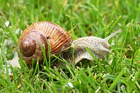 Escargot Edible Snail, Roman snail, Helix pomatia, Germany, adult