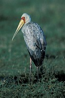 Yellow Billed Stork, Ibis ibis, Lake Nakuru Nationalpark, Kenya, Immature