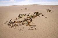 Welwitschia Plant, Welwitschia mirabellis, Namib Desert, Namibia, plant in desert