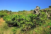Ylang Ylang, Cananga Odorata, Nosy Be, Madagascar, bloom