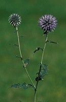 Globe thistle, Echinops banaticus, Germany, bloom