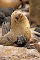 Cape Fur Seal, Arctocephalus pusillus, Cape Cross, Namibia, adult with young